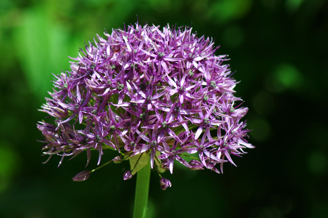 Chris Day | Allium