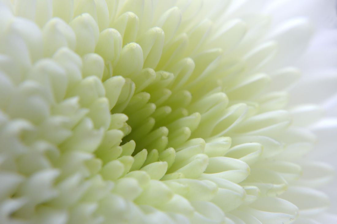 Chris Day | White Chrysanthemum