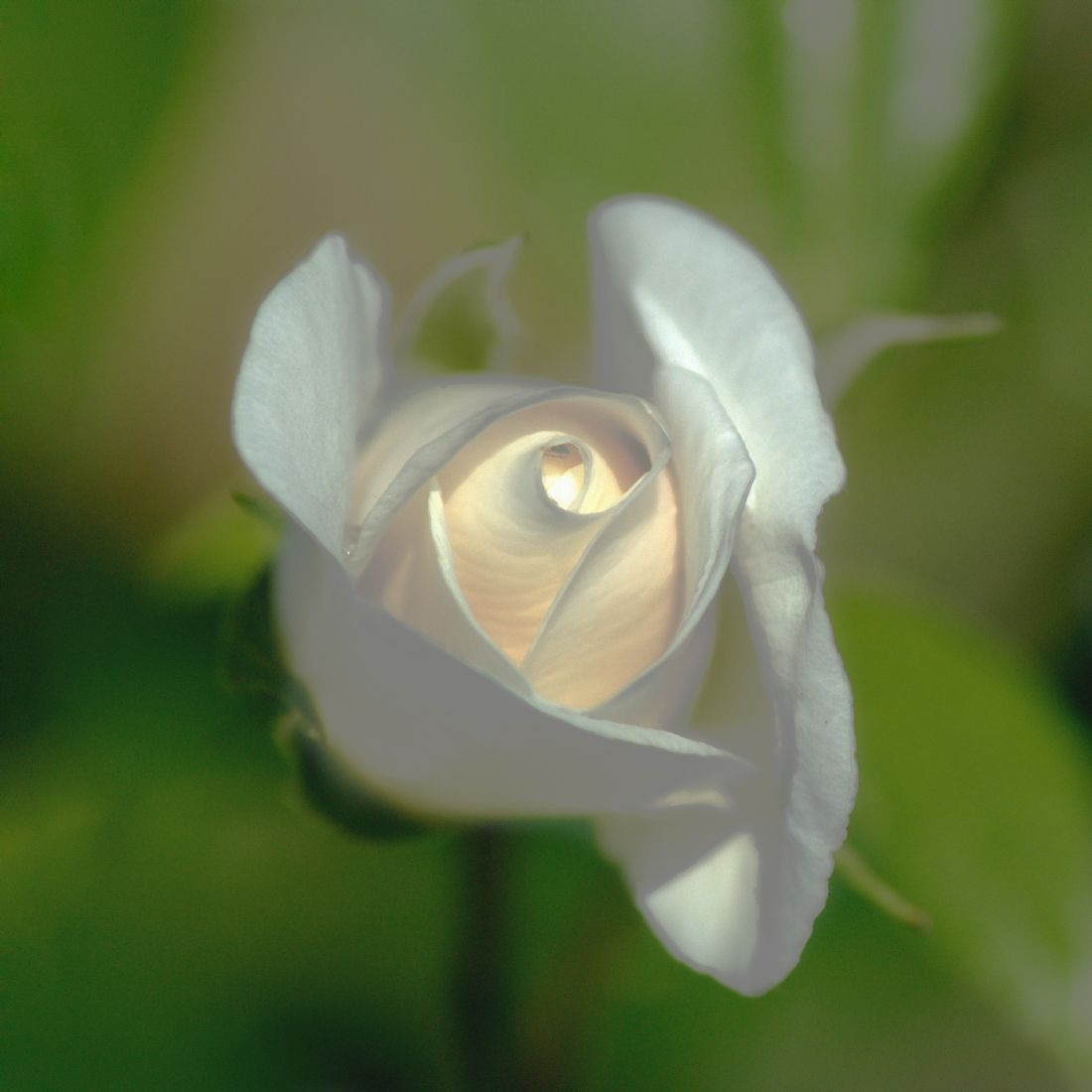 Chris Day | White Rose