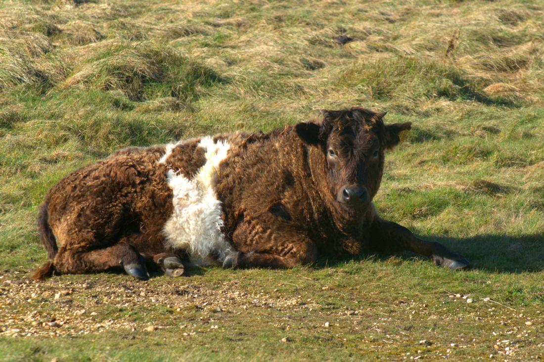 Chris Day | Galloway Shetland cross cow