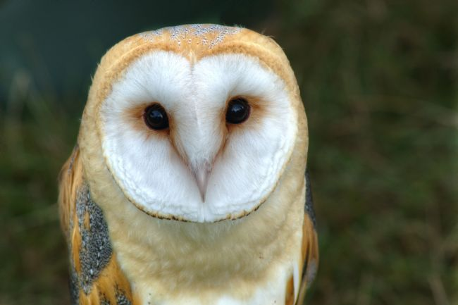 Chris Day | Barn Owl