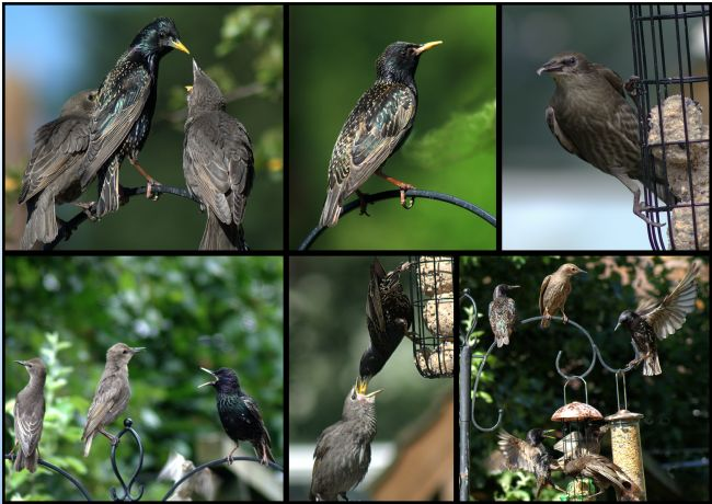 Chris Day | Starlings in my garden