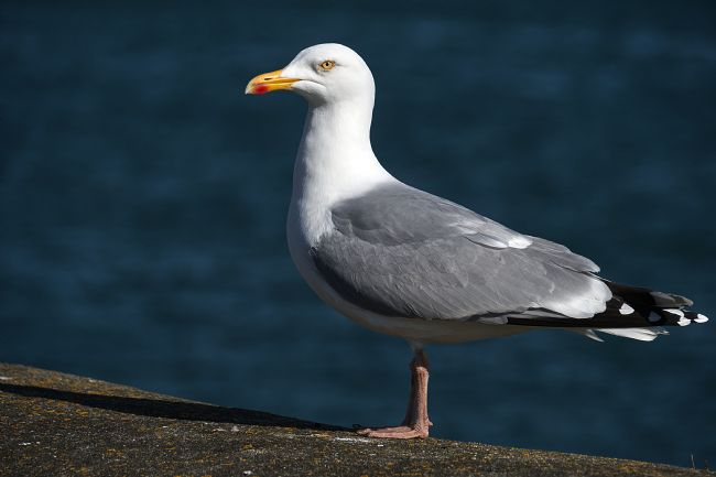 Chris Day | Herring Gull