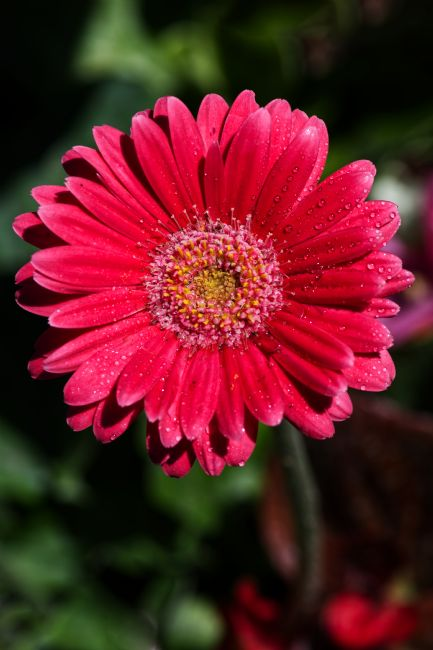 Chris Day | Pink Gerbera