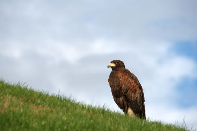 Chris Day | Harris Hawk