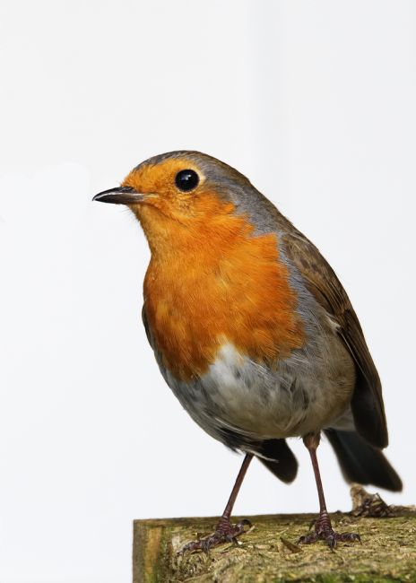 Chris Day | Robin