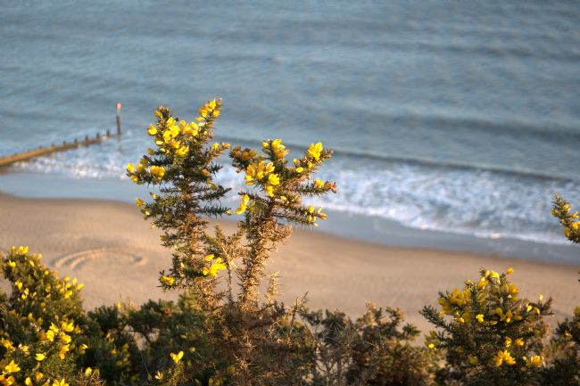 Chris Day | Gorse by the sea