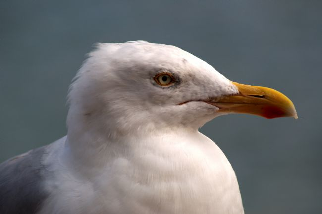 Chris Day | Yellow Legged Gull