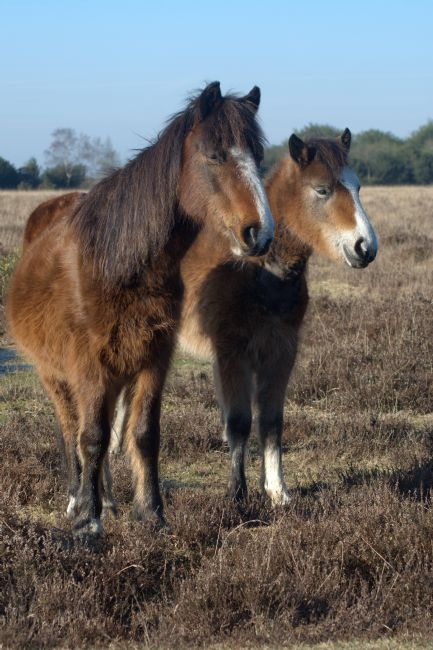Chris Day | New Forest Ponies