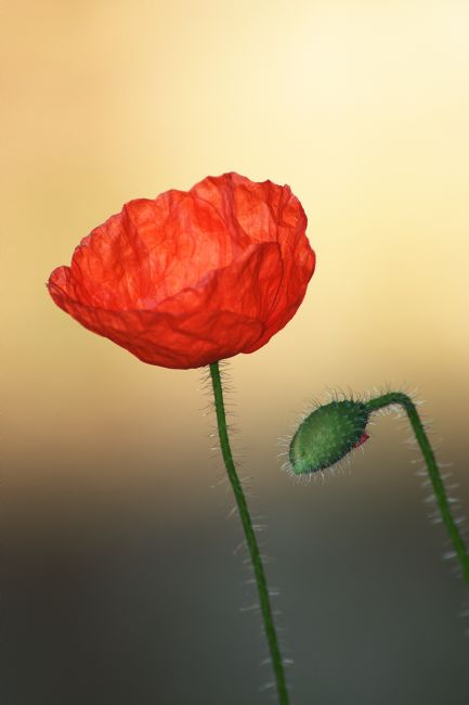 Chris Day | Poppy