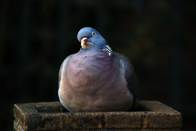 Chris Day | Woodpigeon