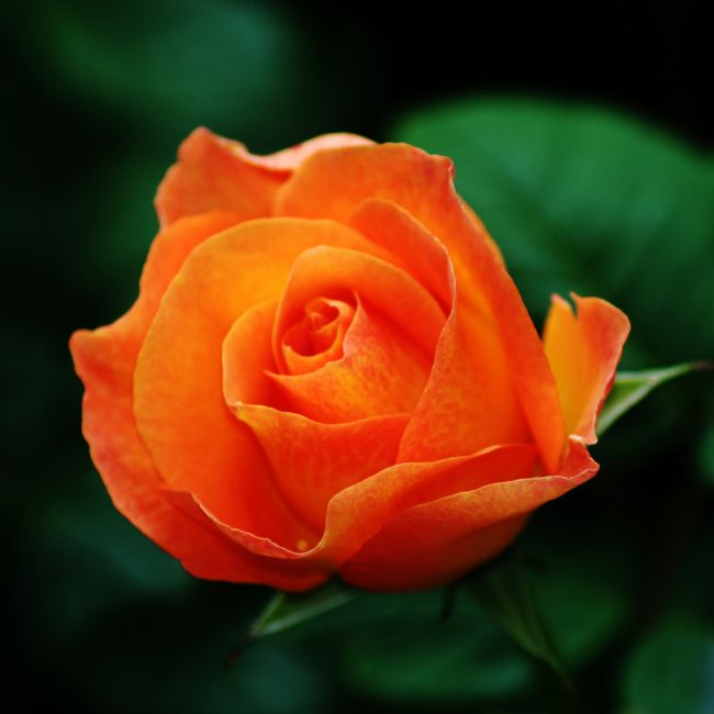 Chris Day | Orange Rose
