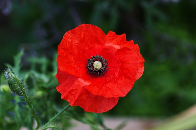 Chris Day | Red Poppy