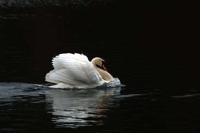 Chris Day | Mute Swan