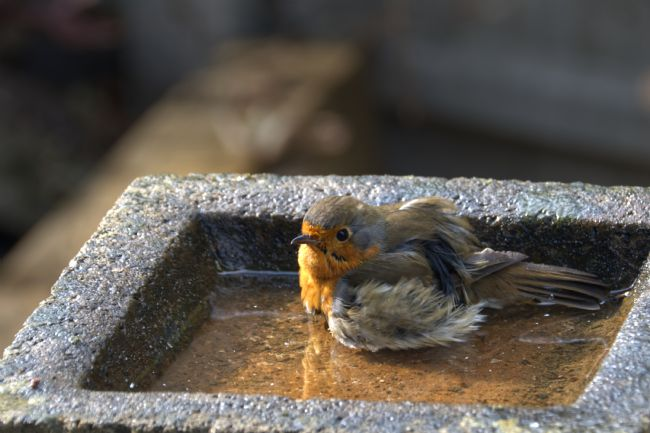 Chris Day | Robin having a bath
