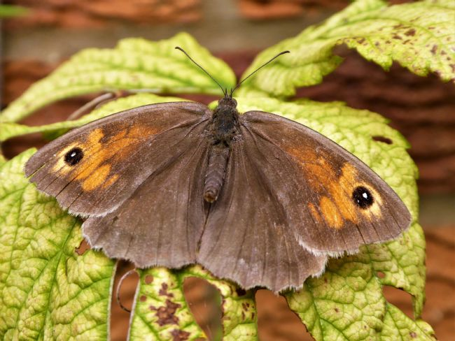 Bozena Thompson | Meadow Brown