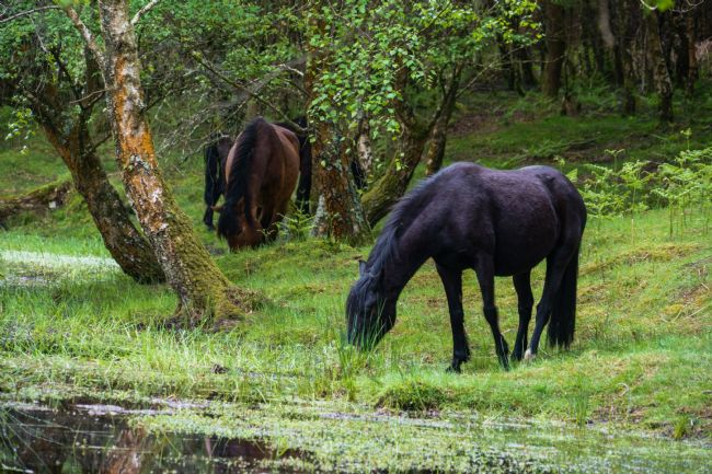 Phil Wareham | New Forest Ponies