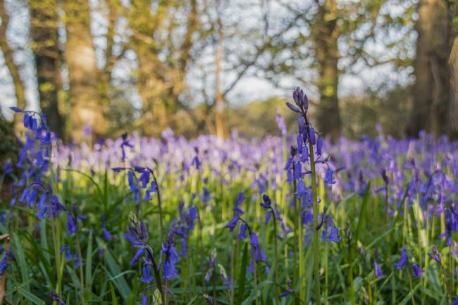 Phil Wareham | Bluebell Wood