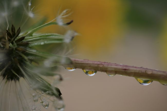 pauline tims | Water Drop Reflections on Dandelion