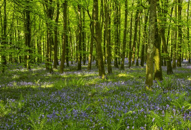pauline tims | Bluebell Woods at Dereen Woods, Ireland