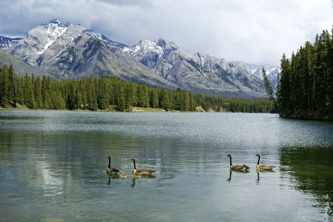 David Birchall | Geese on Johnson Lake, Banff National park.