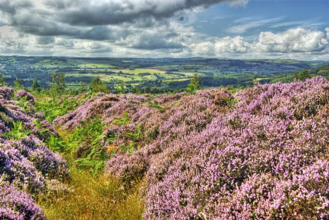 David Birchall | Derbyshire moorland heather.