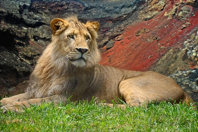 Kaye Menner | Young Male Lion Portrait