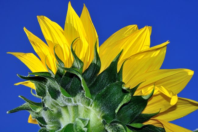 Kaye Menner | Vibrant Sunflower in the Sky