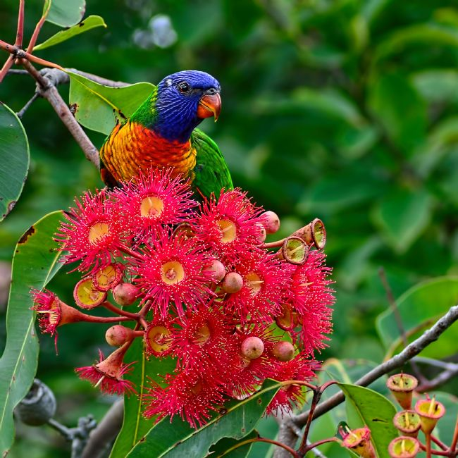 Kaye Menner | Lorikeet and Gum Nut Blossoms
