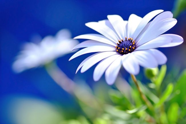 Kaye Menner | Happy White Daisy 2 - Blue Bokeh