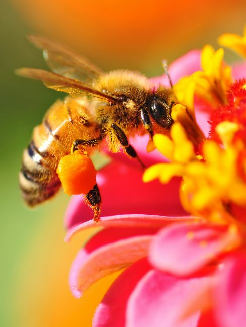 Kaye Menner | Bee Laden with Pollen