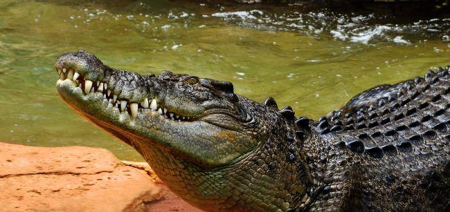 Гребнистый крокодил арты