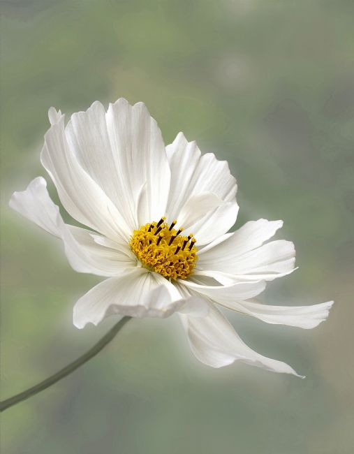 Kaye Menner | Cosmos Flower in White