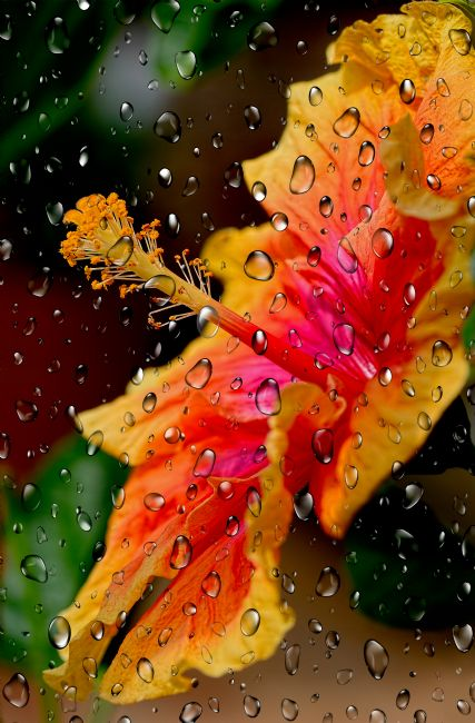 Kaye Menner | Hibiscus Through Raindrops