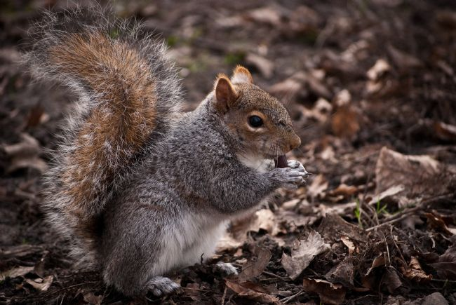 Jeni Harney | Grey Squirrel
