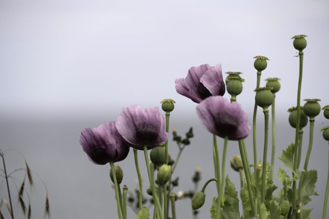 David Hollingworth | Purple Poppies