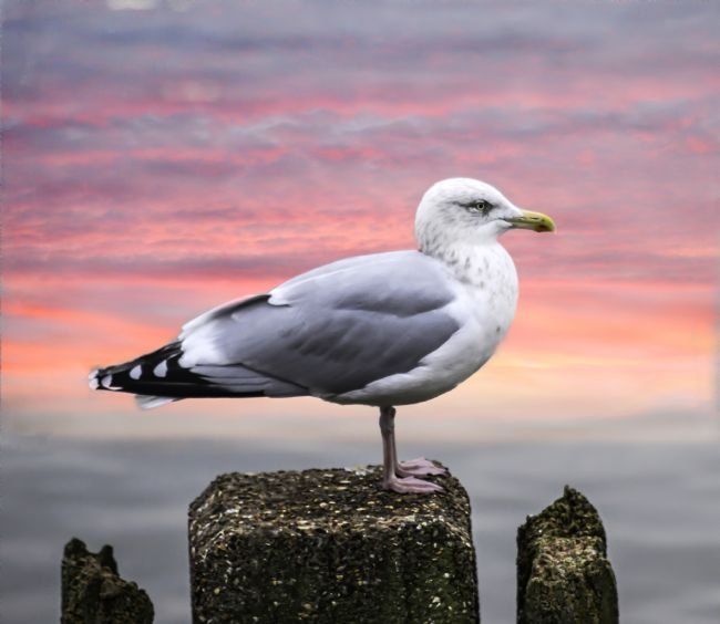 David Hollingworth | Herring Seagull ( Larus argentatus