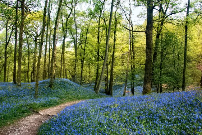 Susan Tinsley | Bluebells at Fishgarth Woods