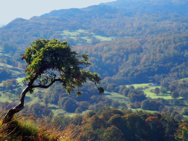 Susan Tinsley | Lone tree at Loughrigg
