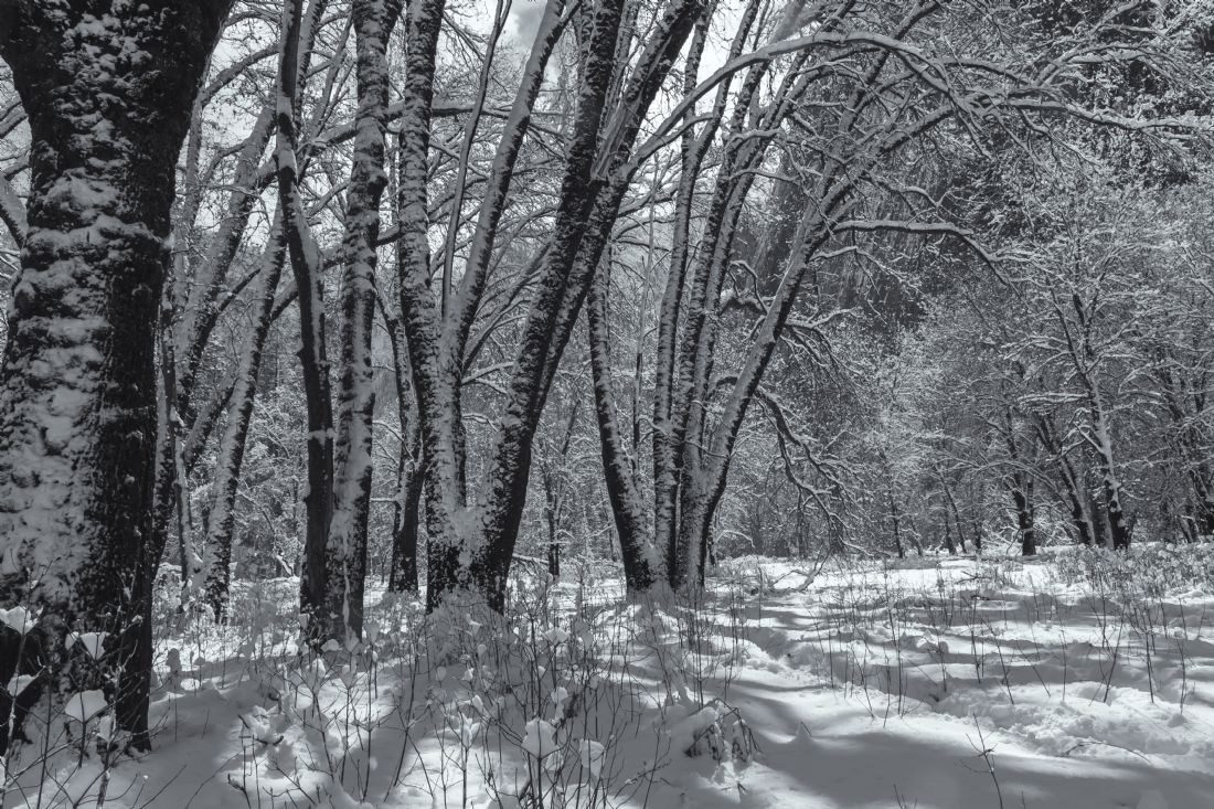 jonathan nguyen | oak trees with snow bw