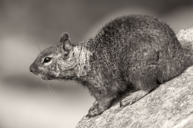 jonathan nguyen | ground squirrel on rock sepia