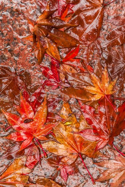 jonathan nguyen | japanese maple leaves