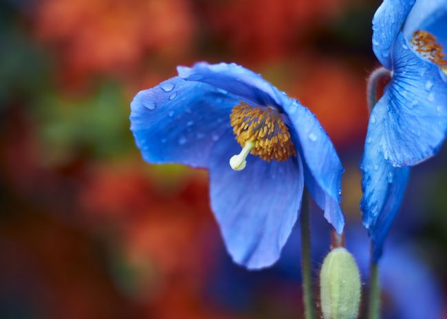 Scot Gillespie | Meconopsis against the red