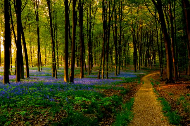 Ken Brannen | Bluebell woodland path and sunset