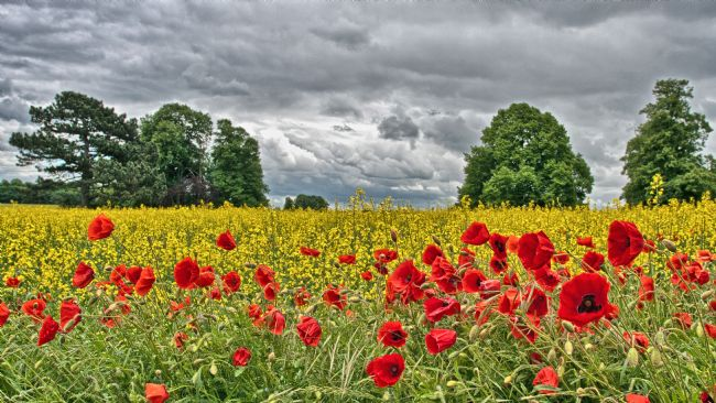 John Biggadike | Poppy field and rape field