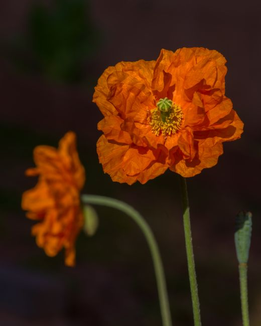 Peter Hemington | Orange poppies