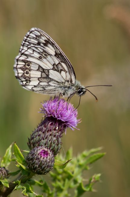 Peter Hemington | Marbled white
