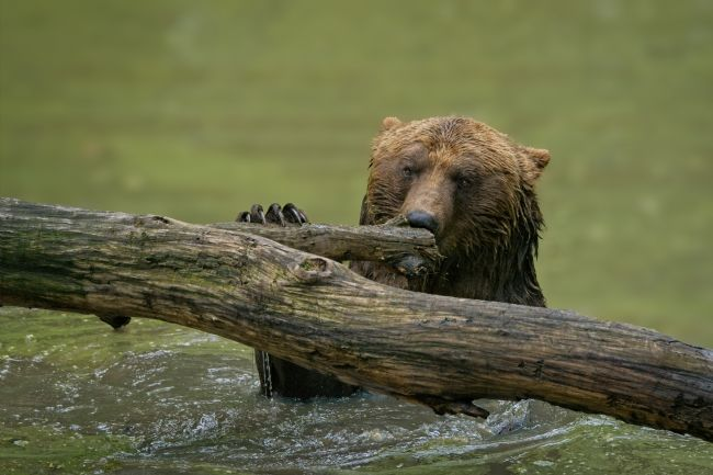 rawshutterbug  | Grizzly Bear