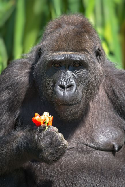 rawshutterbug  | Gorilla Loves Her Pepper