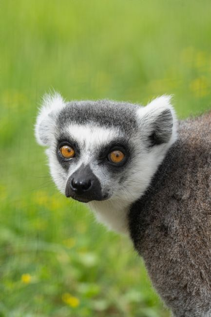 rawshutterbug  | Eyes Of A Ring Tailed Lemur